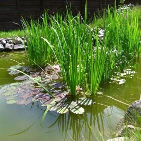 Болотные растения в пруду на участке