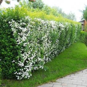 Живая стенка из кустарника с белыми цветками