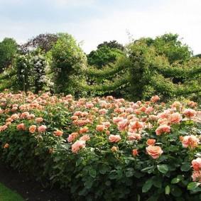 Живая стенка из кустов цветущих роз