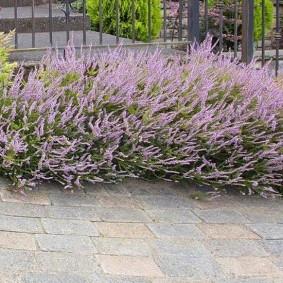 Кустики вереска вдоль садовой дорожки
