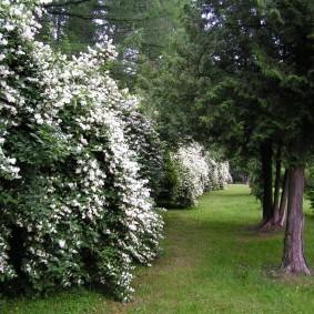 Высокие кусты садового чубушника