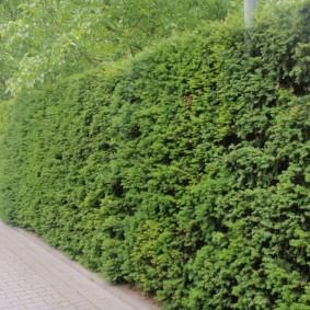 Высокая стенка из декоративно-лиственных растений