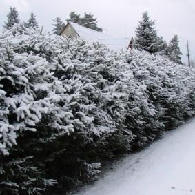 Белый снег на ветках елок в изгороди