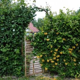 Садовая арка из жимолости каприфоль