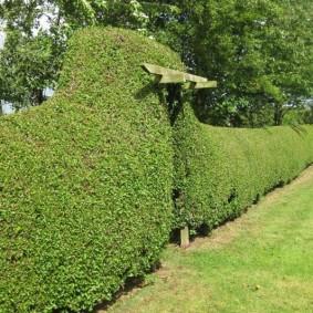 Граб лиственный в живой изгороди с аркой