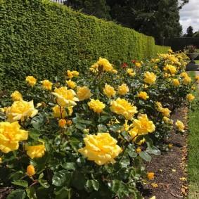 Невысокие кусты с желтыми соцветиями