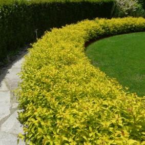 Пример живой изгороди из красиво цветущих растений