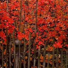 Красные листья калины за деревянным забором