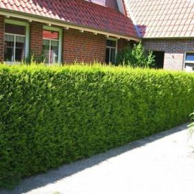 Живой забор из быстрорастущих растений