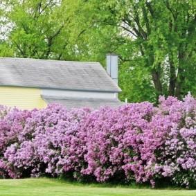 Кусты сирени во время весеннего цветения
