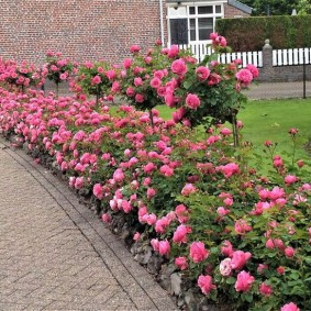 Кустовые розы с красивыми бутонами