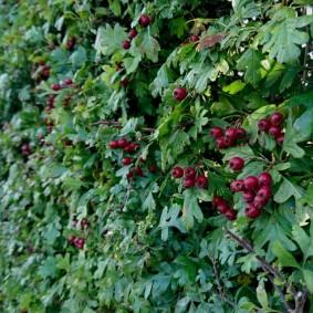 Спелые ягоды на кустах рябины