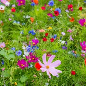 Мавританский газон в период цветения