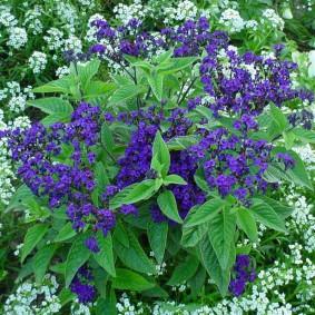 Темно-сиреневые цветки на низком кустике