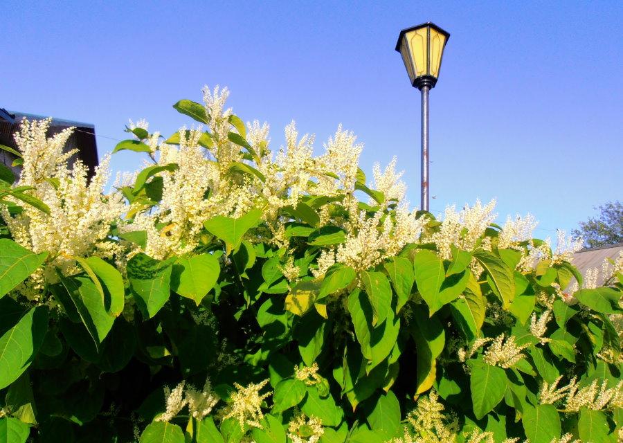 Цветение горца сибирского в живой изгороди