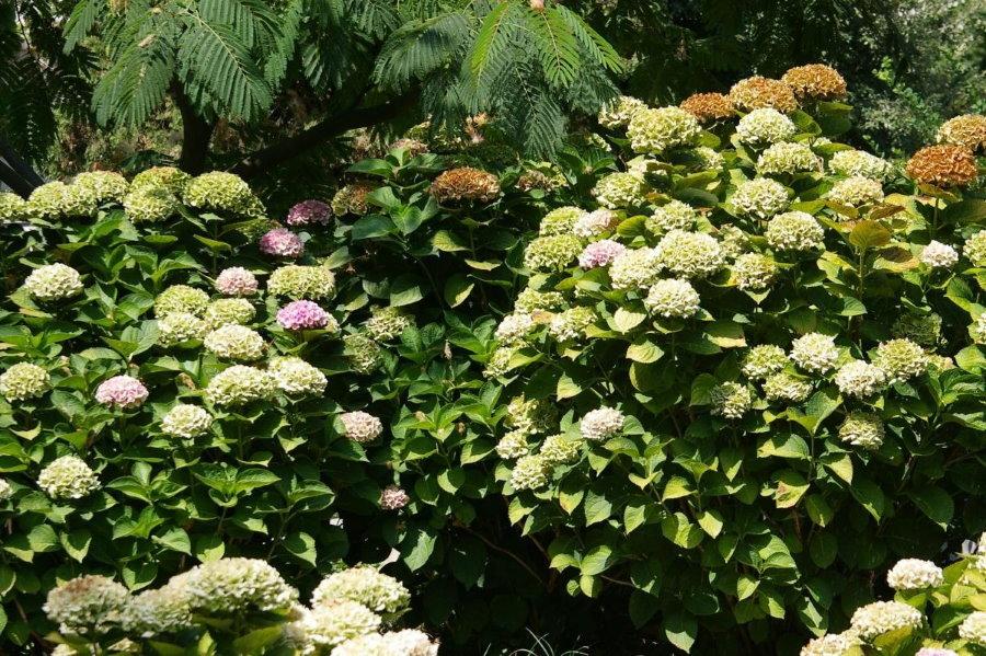 Кусты цветущей гортензии в изгороди на даче