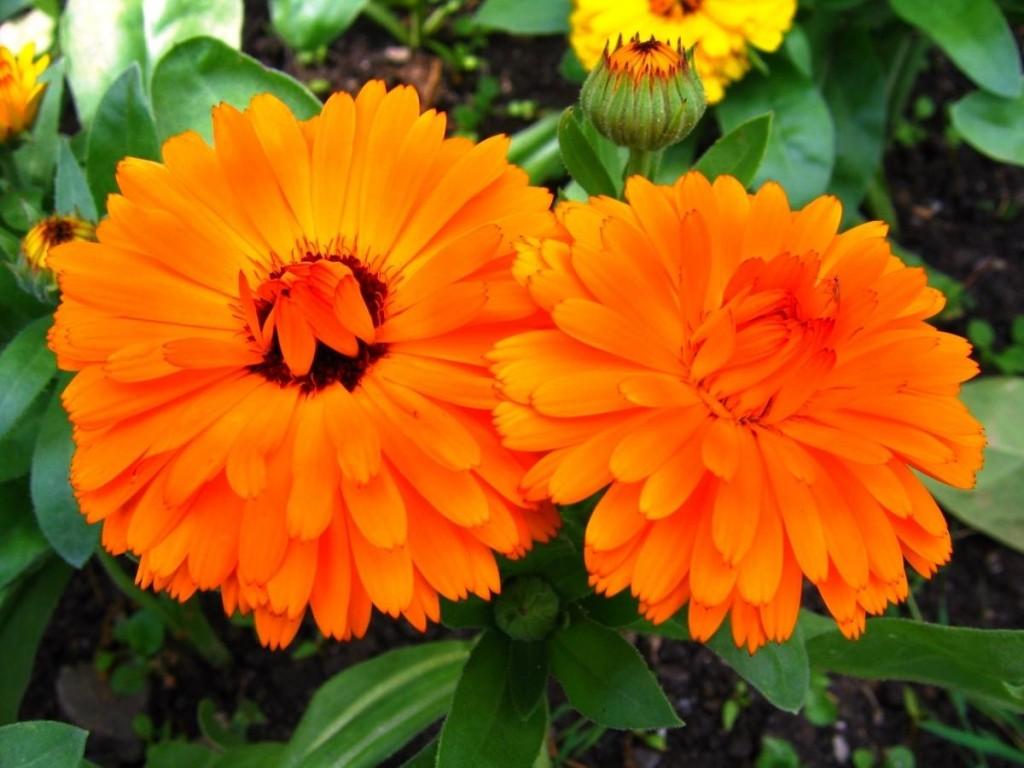 Оранжевые цветки однолетней календулы