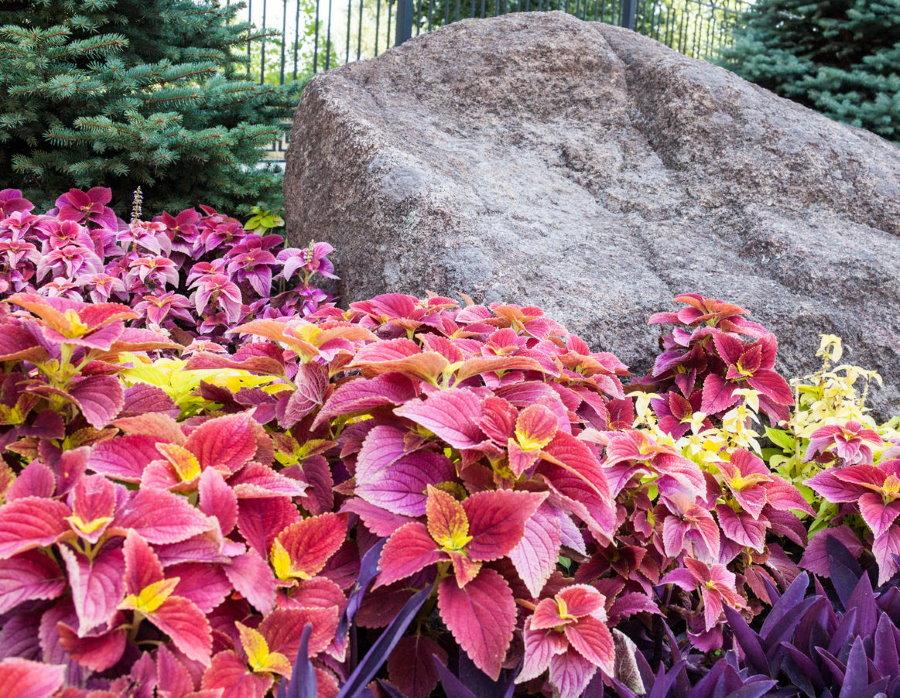 Яркий ковер из декоративных цветов на клумбе с камнем