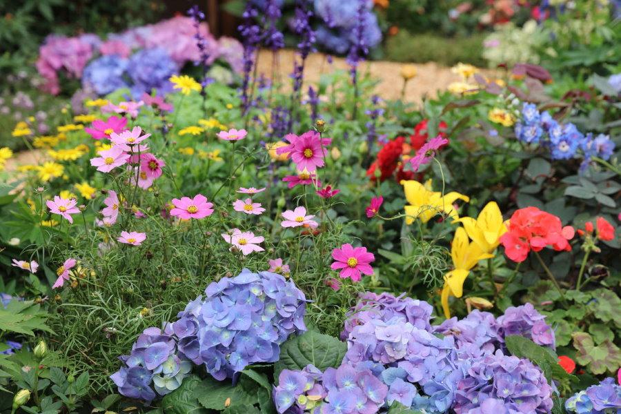 Кустики космеи на цветочной клумбе