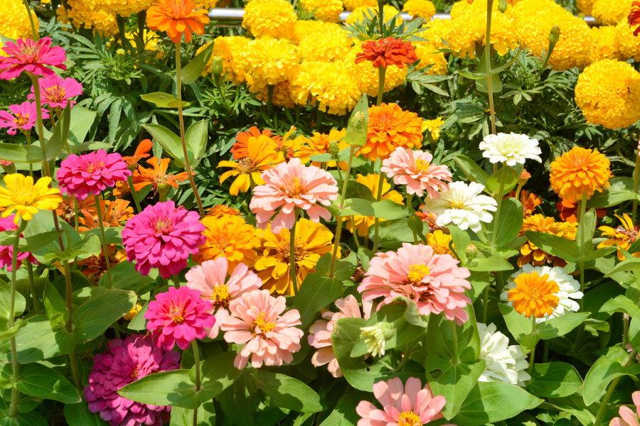 Обильное цветение циний на садовой клумбе