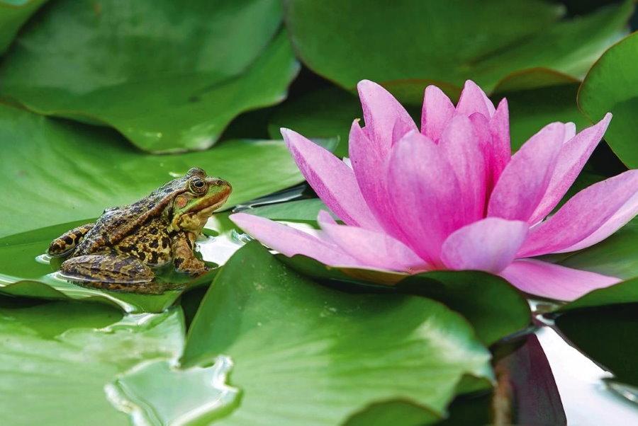 Розовая кувшинка в садовом пруду