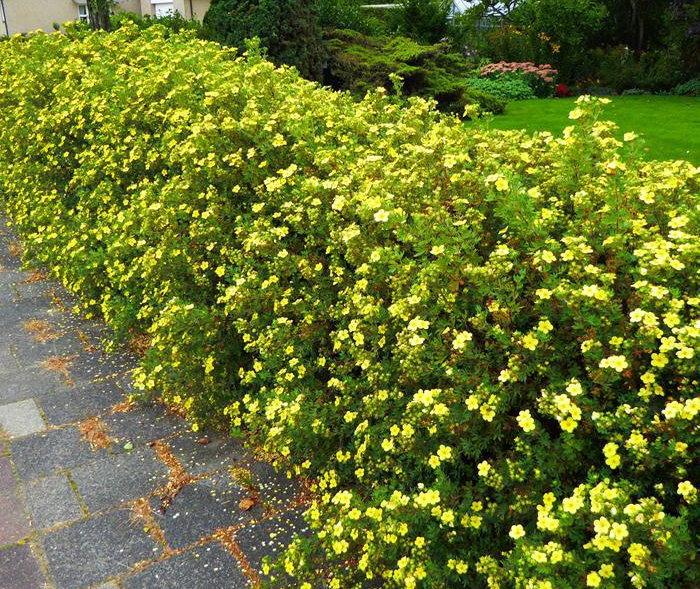Живая изгородь из лапчатки желтой