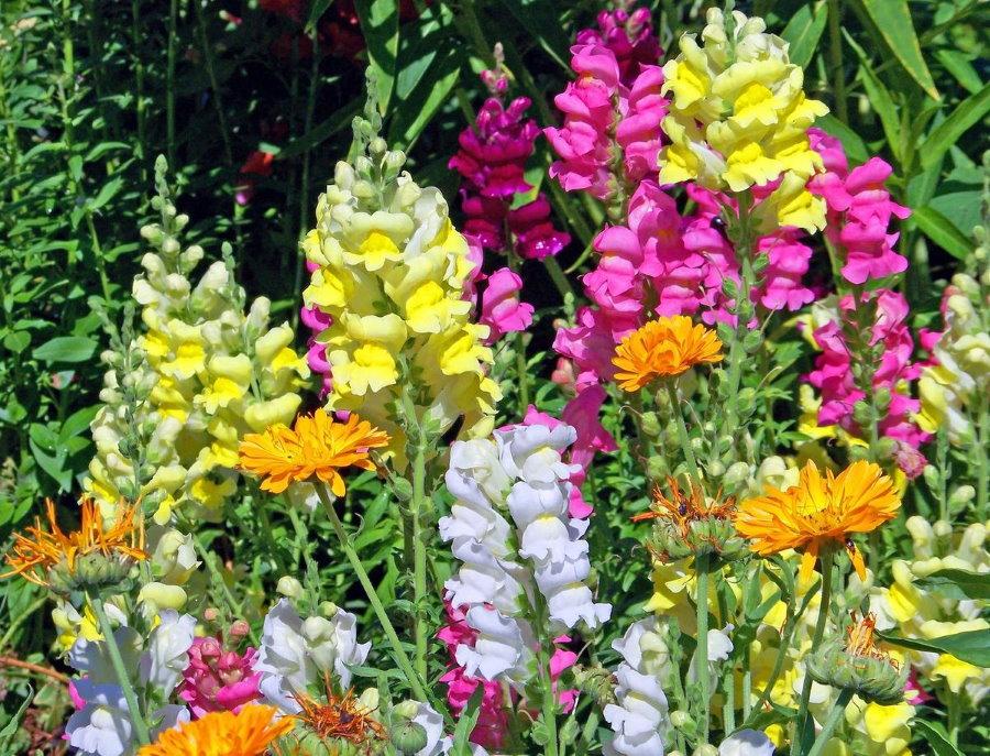 Разноцветные соцветия львиного зева в середине лета