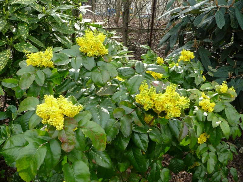 Желтые цветки на кустике магонии