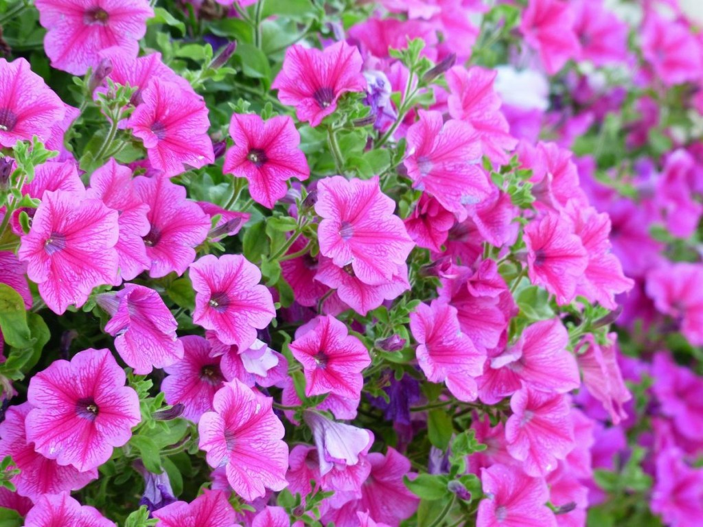Розовые цветки на стеблях гибридной петунии