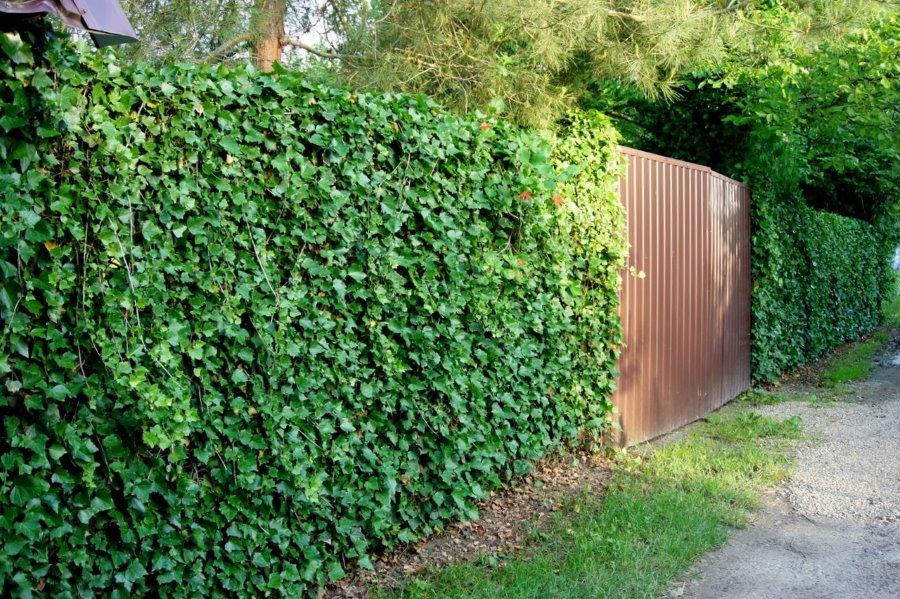 Зеленые плющи на садовом заборе
