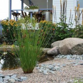 Куст болотного аира около водоема в саду