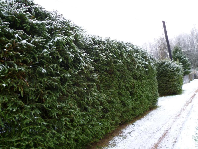 Живая стена из ели в зимний период
